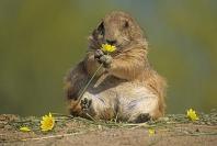 Black Tailed Prairie Dog Munching on a Flower