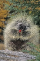 Porcupine Eating a Crabapple, Montana