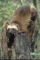 Wolverine, Montana