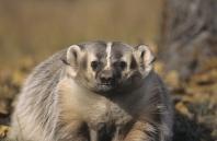 Badger, Montana