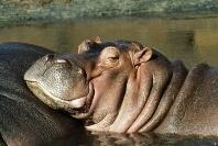 Hippopotamus, Africa