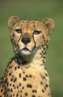 Cheetah Portrait, Africa