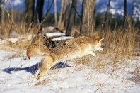 Coyote Pouncing on a Mouse in The Snow, Montana