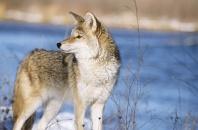 Coyote, Montana