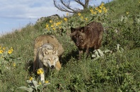 Wolves on a Montana Hillside