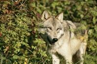 Tundra Wolf, Montana