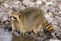Raccoon Searching for Food in a Stream, Montana
