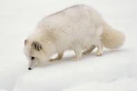 Arctic Fox, Montana