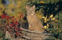 Baby Lynx, Glacier National Park, Montana