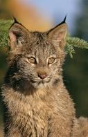 Baby Lynx Portrait, Montana