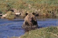 Grizzly Bear Enjoying a Morning Bath, Montana