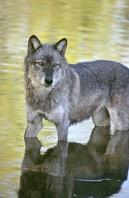 Tundra Wolf in a Stream, Montana