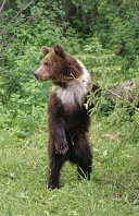 Grizzly Bear Standing, Montana
