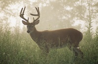 White Tail Buck in the Fog, Cades Cove, Tennessee