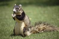 Fox Squirrel, Florida