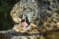 Snow Leopard Snarling