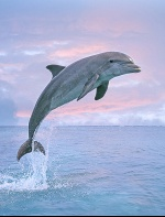 Bottlenose Dolphin Jumping, Pink Sky