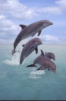 Dolphins Jumping, Honduras
