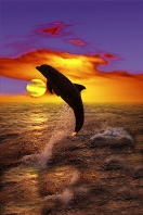 Dolphin Jumping at Sunset, Honduras