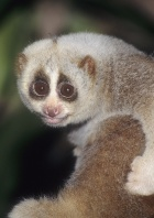 Slow Loris, Indonesia