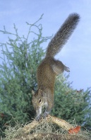 Squirrel Jumping and Landing on Front Paws