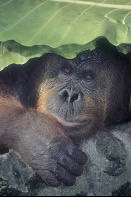 Adult Orangutan Covering Head With a Leaf