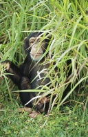 Chimpanzee Peeking From Tall Grasses