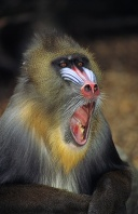 Male Mandrill, Africa