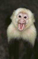 White Throated Capuchin, Peru