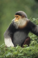 Rare Red-Shanked Douc Langur Monkey, Tropical Forest, Vietnam