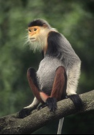 Rare Red-Shanked Douc Langer Monkey, Tropical Forest, Vietnam