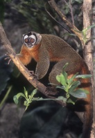 Owl Monkey, Tropical South America