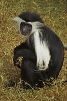 Colobus Monkey, Africa