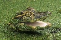 Baby Alligator in Duckweed, Florida