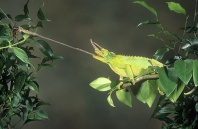 Jackson Chameleon Reaching for Insect With Tongue, Africa