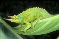 Jackson Chameleon, Mountain Forest, East Africa