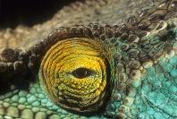 Parson's Chameleon Eye Detail, Madagascar