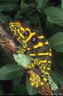 Female Minor Chameleon, Madagascar