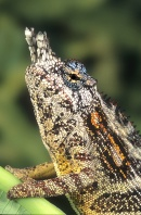 Male Minor Chameleon, Madagascar
