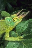 Jackson Chameleon, Mountain Forest, Africa