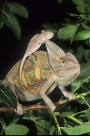 Veiled Chameleon Adult and Baby
