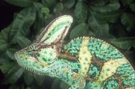 Male Veiled Chameleon, Chamaeleo calyptratus, Yemen