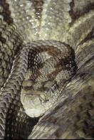 Yucatan Tropical Rattlesnake, Belize