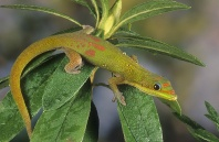 Gold Dust Day Gecko, Madagascar