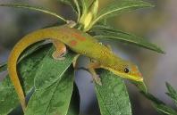 Gold Dust Day Gecko, Madagascar